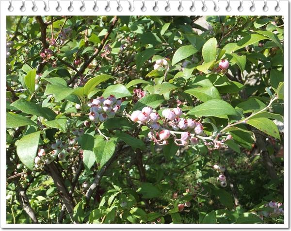 26-7ブルーベリーの木