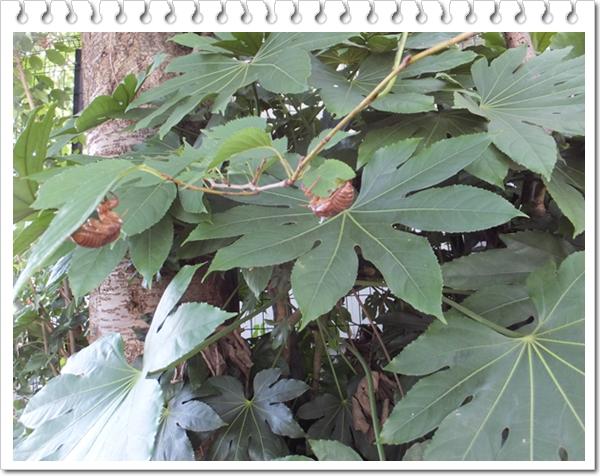 26-7セミの木1