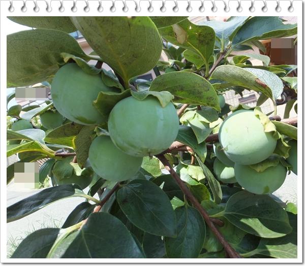 26-7柿の木