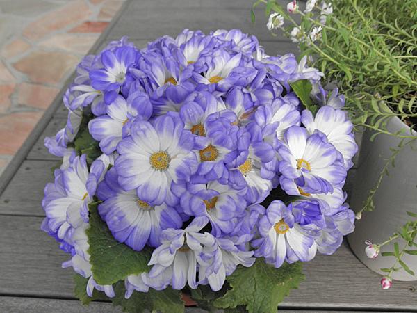 20140219花①