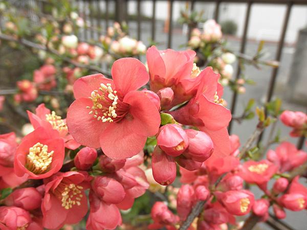 20140319ぼけの花②