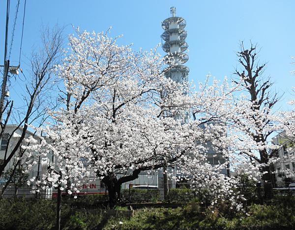 20140331桜①