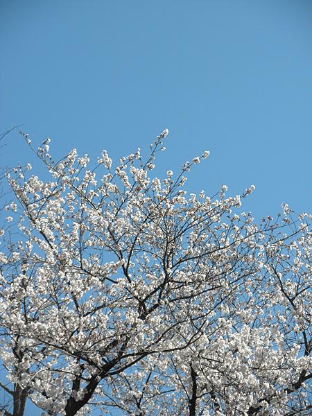 20140331桜②