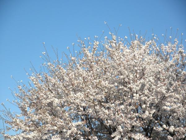 20140405桜①