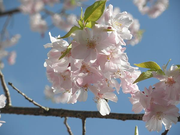 20140405桜②