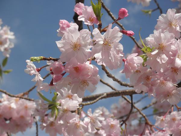 20140405桜③