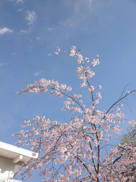 20140405桜④