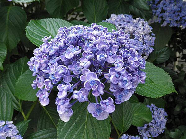 20140625紫陽花②