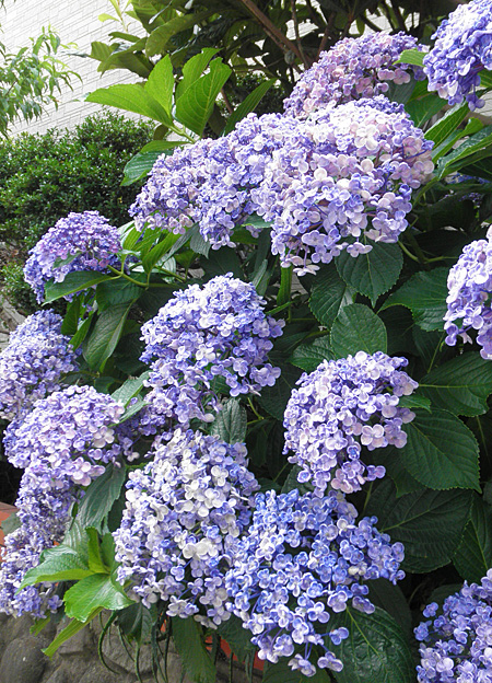 20140625紫陽花③
