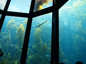 giant kelp01