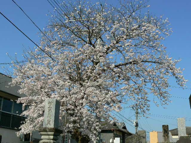 境内の吉野桜が満開です