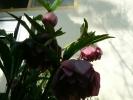 八重の紫花