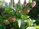ピンクの八重の花