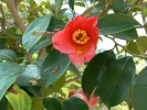境内の藪椿の花②