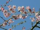 境内の八重枝垂れ桜