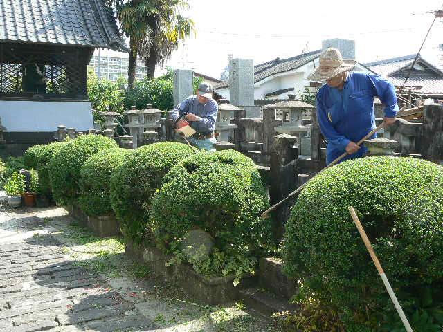 玉柘植の刈込