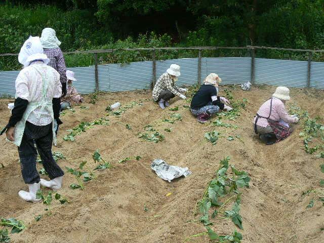 カライモの苗を植えています