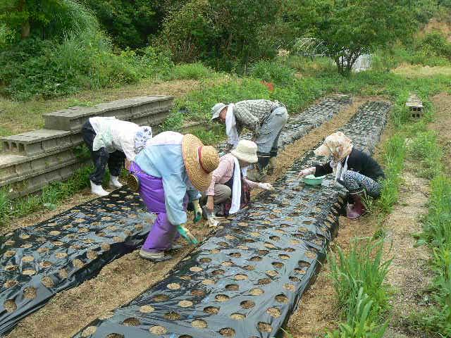 マルチに撒いた大豆に土をかぶせています