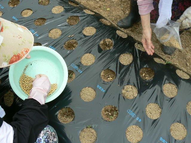 大豆を3粒撒いています