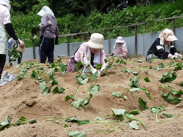 唐芋の苗を植えていま1