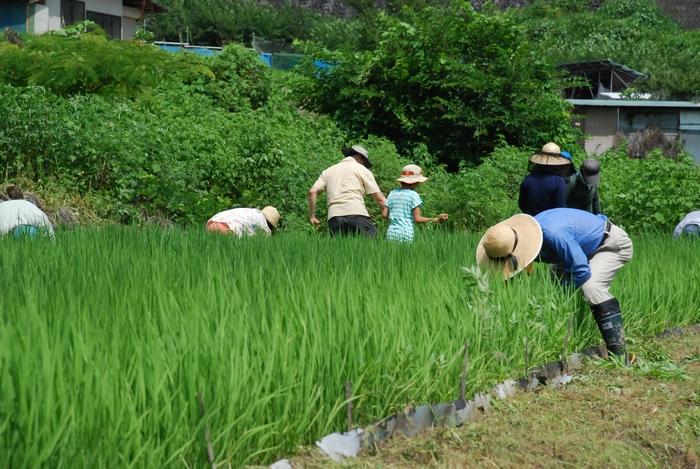 田の草取り11