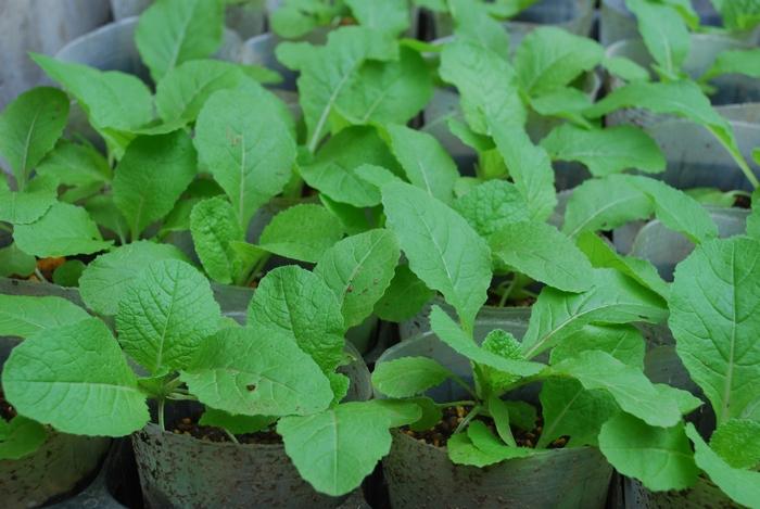 白菜苗12