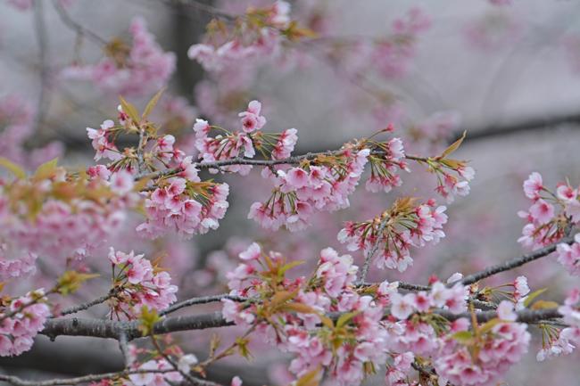 2014-3-29大寒桜DSC_9481
