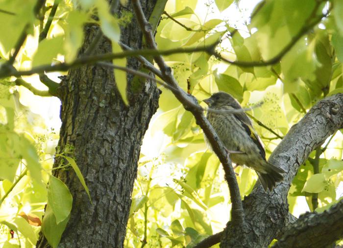 2014-4カワラヒワ幼鳥DSC_4398