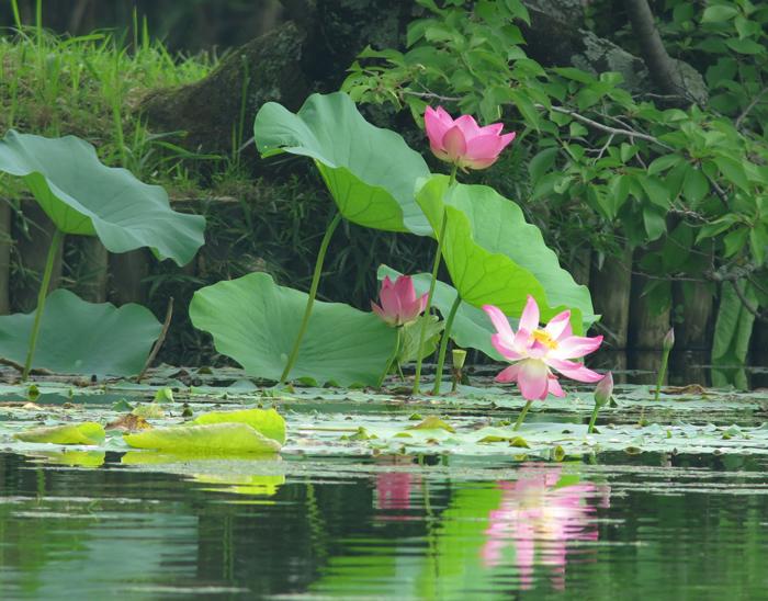 2014-7-16蓮の花IMG_1943