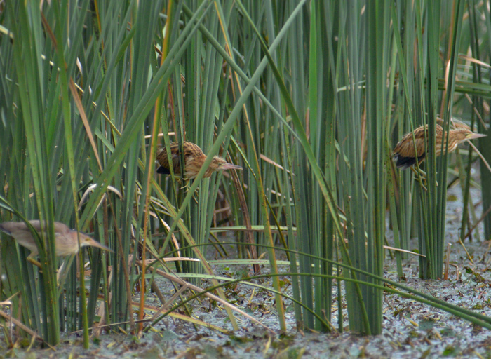 2014-8-3ヨシゴイ幼鳥DSC_3968