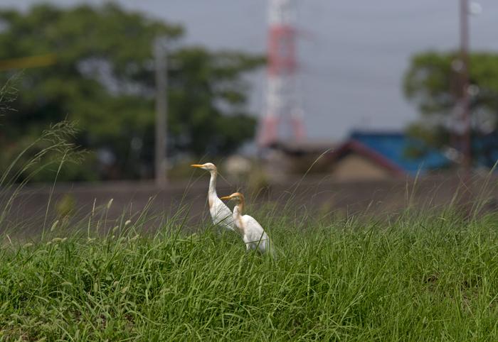 2014-8アマサギAR0J1118