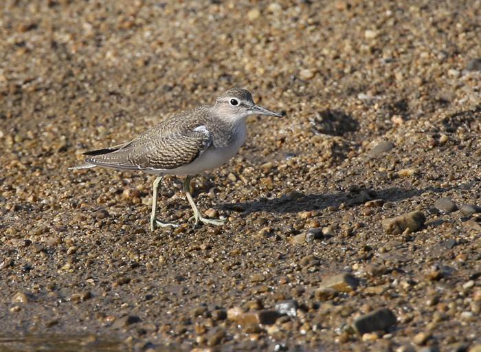 2014-8-17イソシギ幼鳥AR0J4026