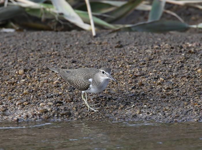 2014-8-17イソシギ幼鳥AR0J4036