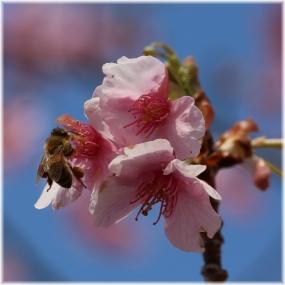 140321E 087桜蜂