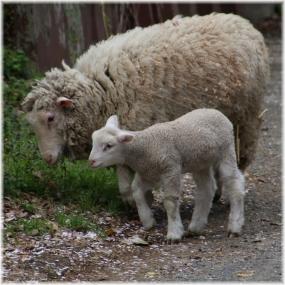 140405E 130羊親子