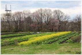 140406E 084菜花桜