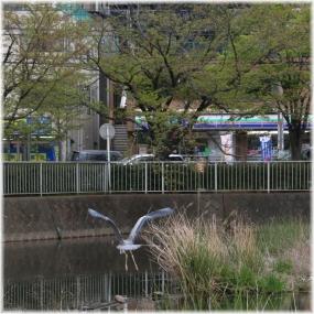 140419E 015横浜アオサギB