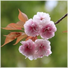 140420E 008八重桜