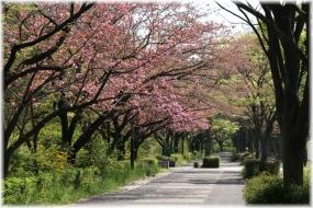 140415E 027南大八重桜
