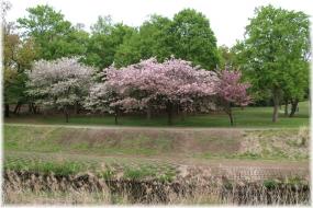 140420E 021川辺の八重桜