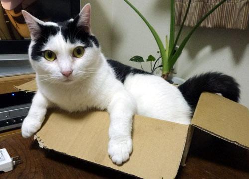 箱にはいった白黒猫