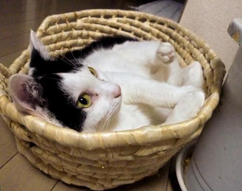 籠の中の白黒猫