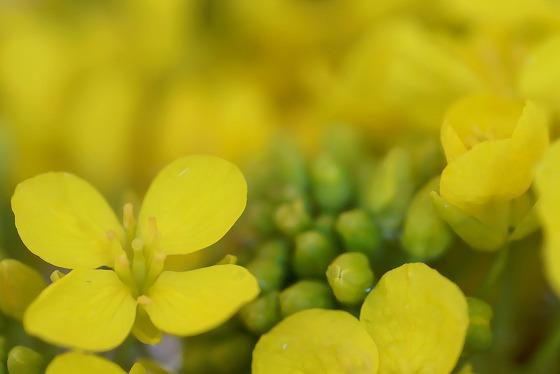 140303菜の花-2
