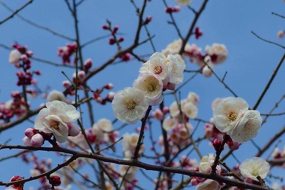140228高山神社の梅