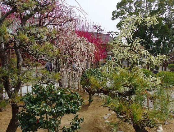 140228結城神社の梅
