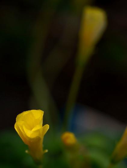 140317オキザリスコモサ黄朝