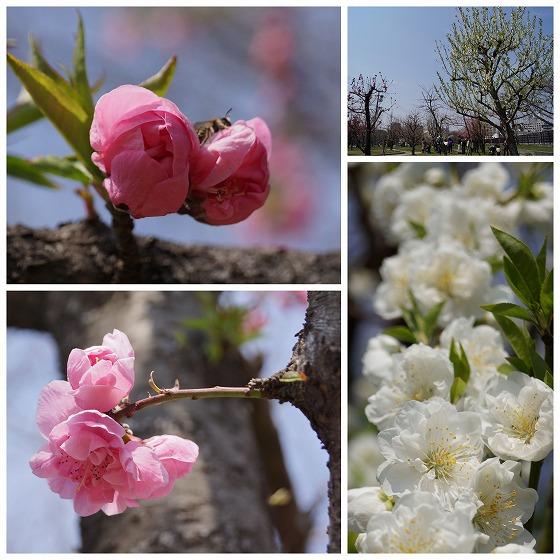 140324大阪城公園桃園