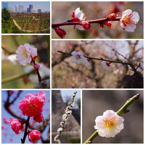 140324大阪城公園梅林