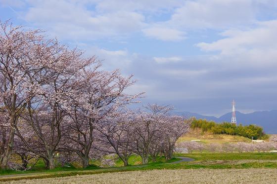 140403桜並木-1