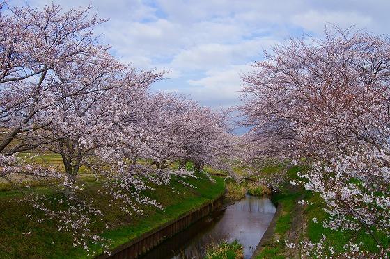 140403桜並木-2